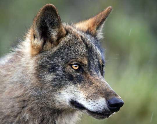 gros plan profil de tête de loup (2)