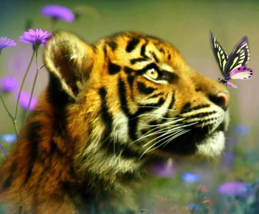 2017-02-02-tigre-au-papillon-16472950_1419819514716457_331760292891920689_n