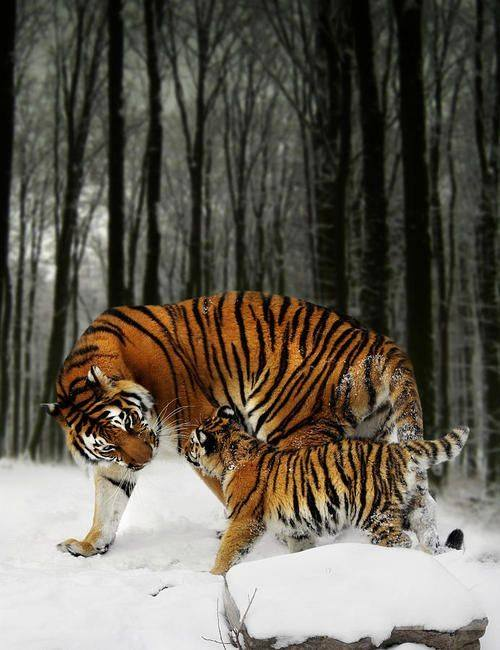 2017-02-02-tigre-tigron-dans-bois-16299023_1418115274886881_8068914952557794503_n