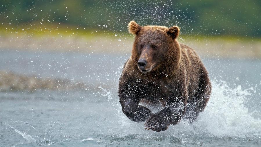 USA, Alaska, Katmai National Park, Brown bear (Ursus arctos) fishing