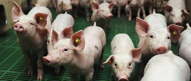 ruralité filière porcine 1956222lpw-1956302-article-jpg_3012770_660x281