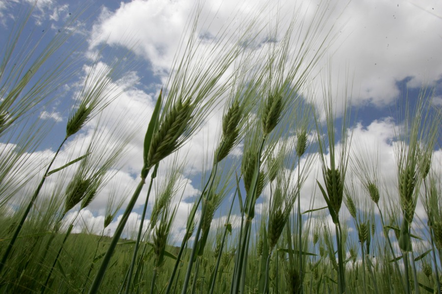 Stalks of wheat grow at a farm near Setif