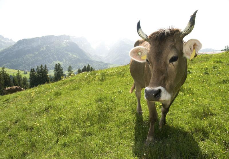 suisse vache à cornes Braunvieh-mit-Horn-auf-Wiese