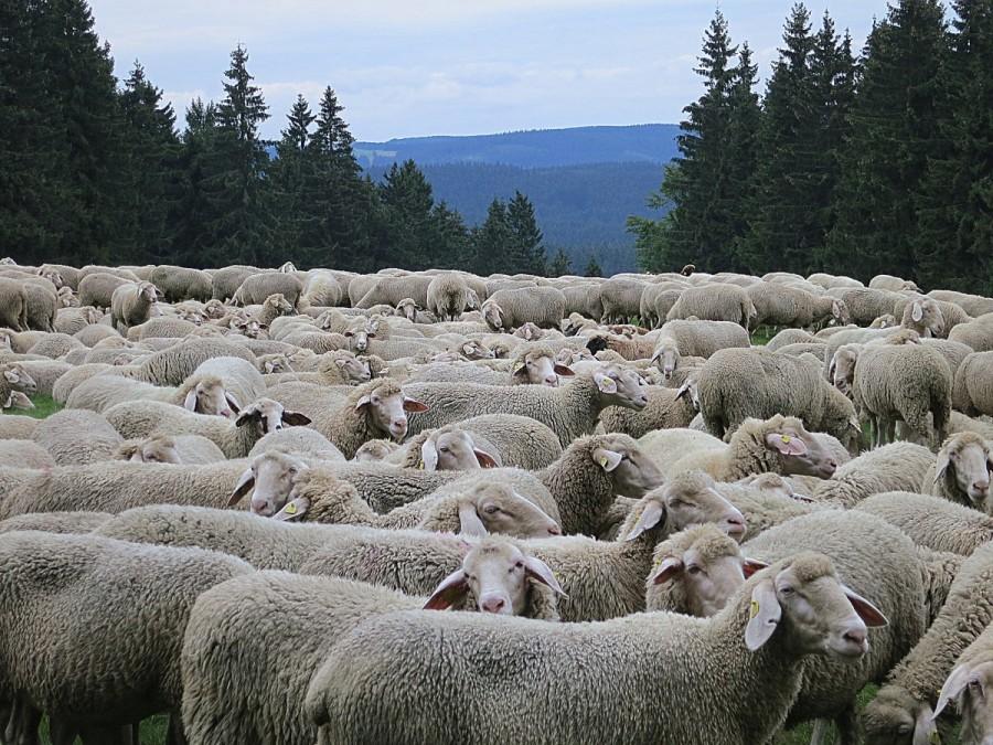 MOUTON sheep_flock_flock_of_sheep_pasture_animals_grass_meadow-854902.jpg!d