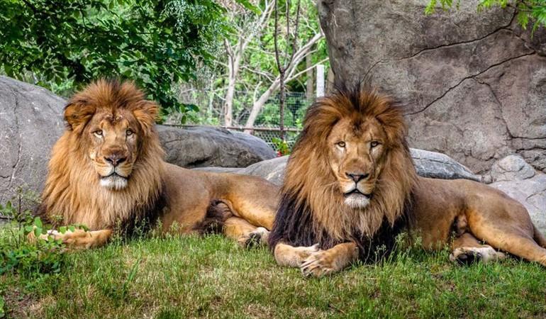 lions 3139548_n_vir3