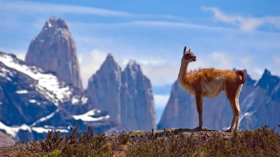 lamas-alpagas-guanacos-vigognes