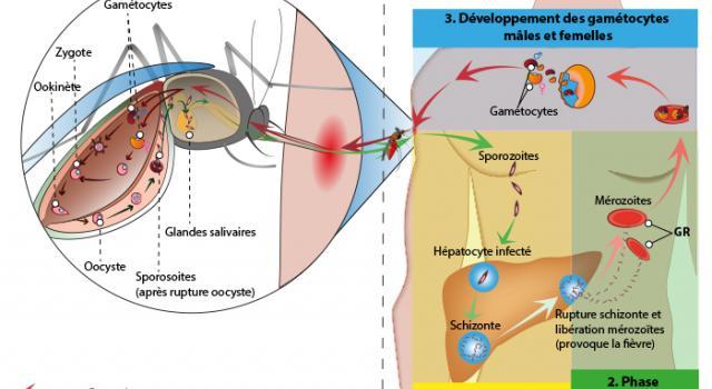 malaria-15001_jpg_640_350_1
