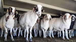 moutons de Mongolie 2020 offerts à la Chine