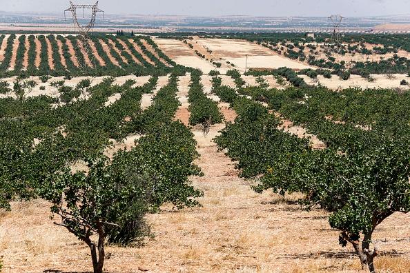 SYRIA-CONFLICT-ECONOMY-AGRICULTURE-PISTACHIO